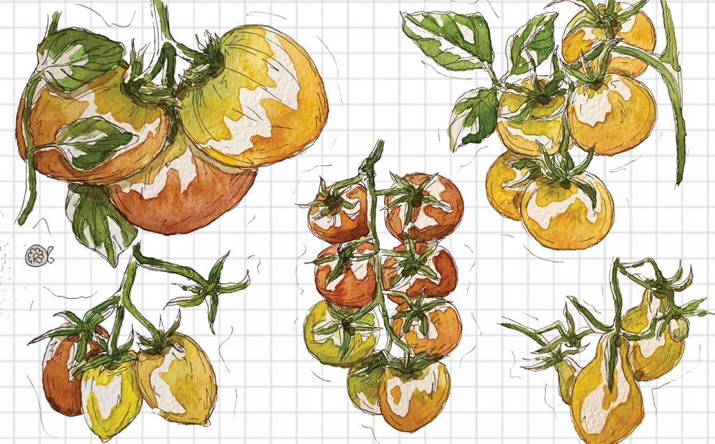 Illustrazione pomodorini ortaggi